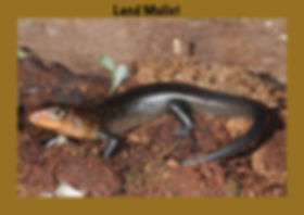 Land Mullet, Nature 4 You, lizard, skink, reptile
