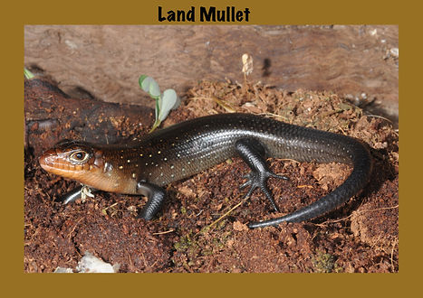 Land Mullet, Nature 4 You, lizard, skink, reptile