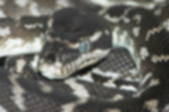 Rough-scaled python, Morelia carainata, Nature 4 You, Australian snake