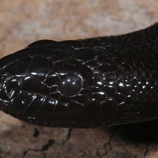 Black-headed Python, Aspidites melanocephalus