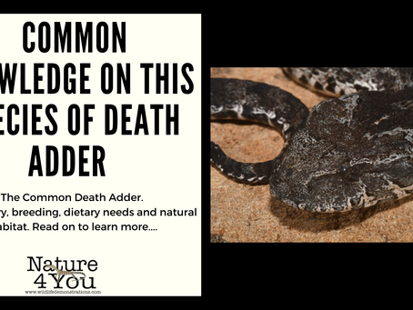 Commonly asked questions answered for this species of Death Adder....