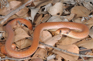 Northern Hooded Scaly-foot, Pygopus steelscotti