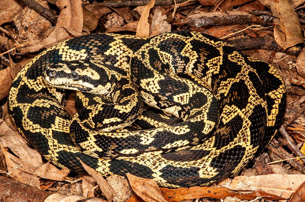 Mites on a Jungle Python, Morelia spilota spilota