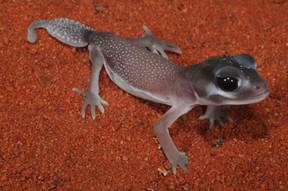 Smooth Knob-tailed Gecko, Nephrurus levis occidentalis