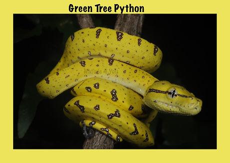 Green Tree Python, Morelia virdis, Nature 4 You, python, snake, reptile