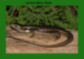 Eastern Water Skink, Nature 4 You, skink, lizard, reptile