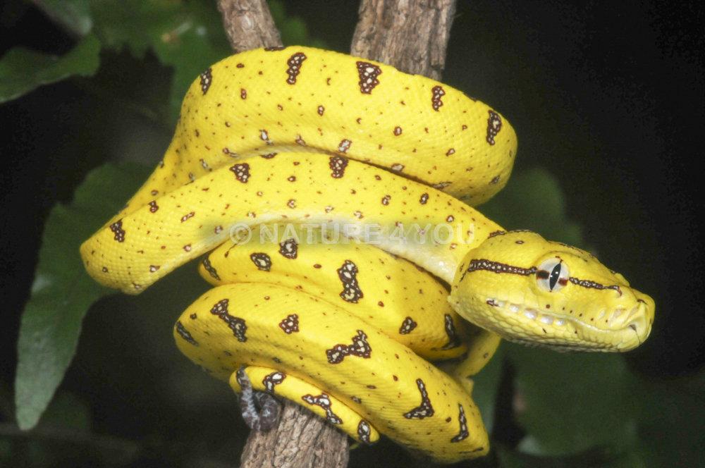 Green Tree Python, Australian python, snake, reptile, Natur For You