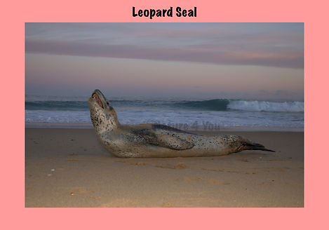 Leopard Seal, Nature 4 You