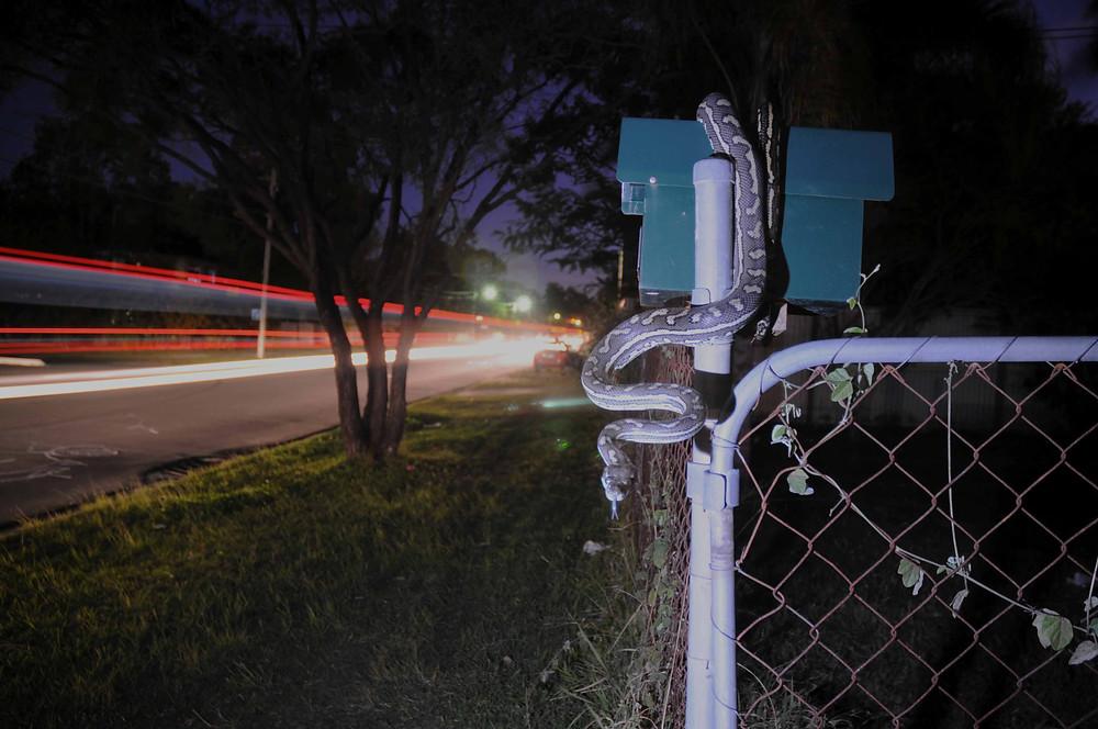 Carpet python, Morelia spilota spilota on a fence
