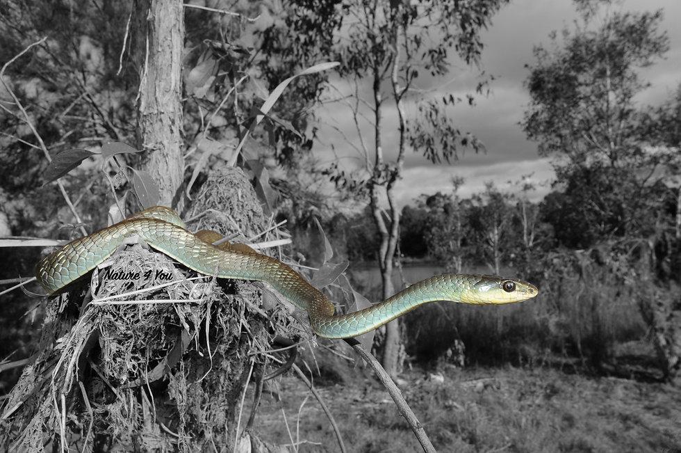 Common Tree Snake, Dendrelaphis punctulatus