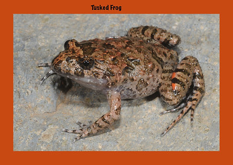 Tusked Frog, Nature 4 You, Australian Frog