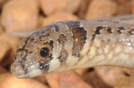 Hooded Scaly-foot,  Pygopus nigriceps