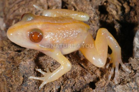 Stripped Marsh Frog - Albino