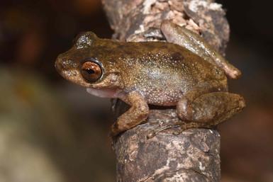 Common Mist Frog,  Litoria rheocola
