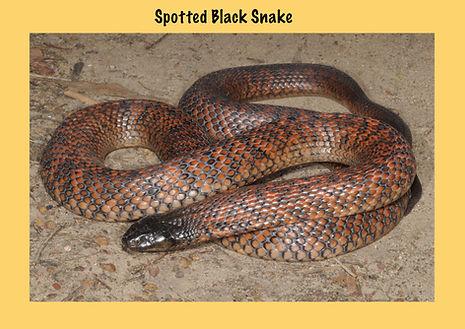 Spotted Black Snake, Psuedechis guttatus, Nature 4 You, elapid, venomous snake, reptile