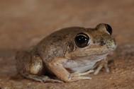Pale Rocket Frog, Litoria pallida