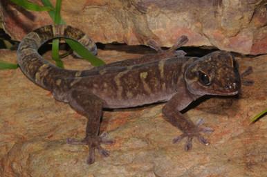 Western Giant Cave Gecko, Pseudothecadactylus cavaticus