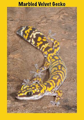 Marbled Velvet Gecko, Nature 4 You, gecko, lizard, reptile