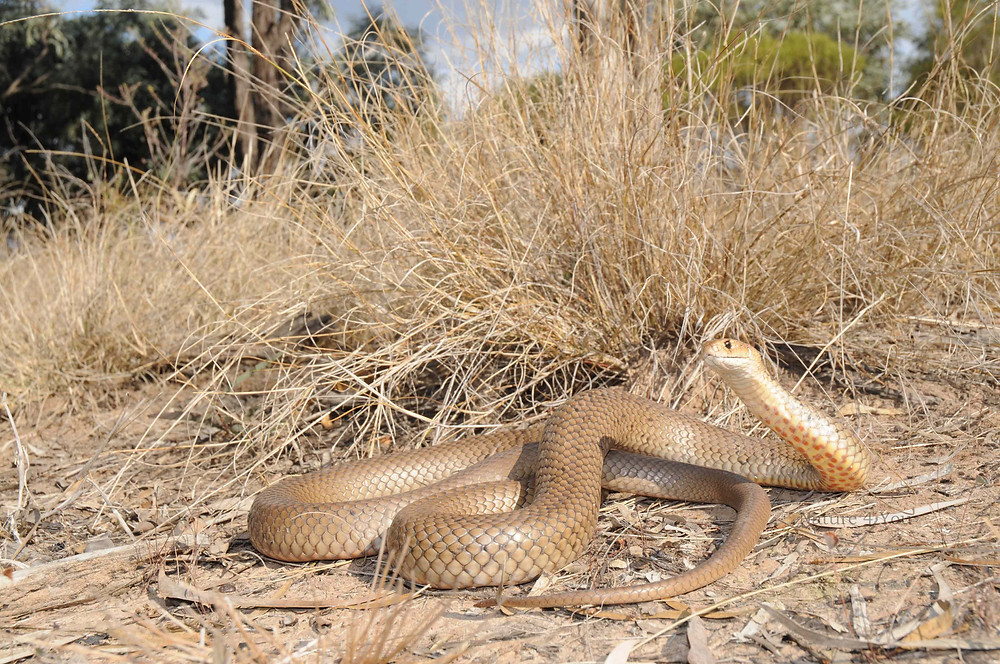 Eastern Brown Snake, Pseudonaja textilis in it's natural habitat.