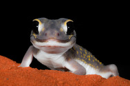 Starry Knob-tailed Gecko, Nephrurus stellatus