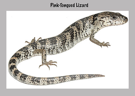 Pink-tongued skink, Nature 4 You, lizard,skink, reptile