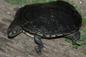 Eastern Long-necked Turtle, Chelondina longicollis