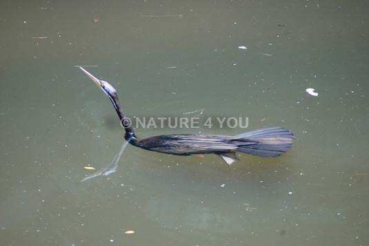 Darter Bird