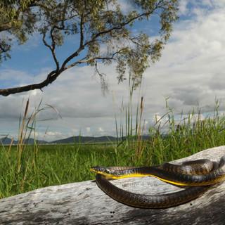 Common Tree Snake, Dendrelaphis punctulata