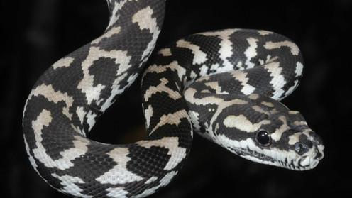 Carpet Python (Jungle python) Morelia spilota spilota