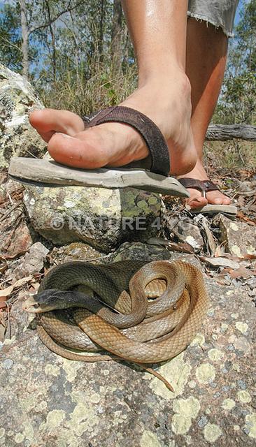 Coastal Taipan, Oxyuranus scutellatus, snakes in the Australian Bush, Bushwalking dangers, snake bite, how to not get bitten in the Australian Bush, be careful when bush walking