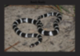 Bandy Bandy, Nature 4 You, snake, venomous, elapid