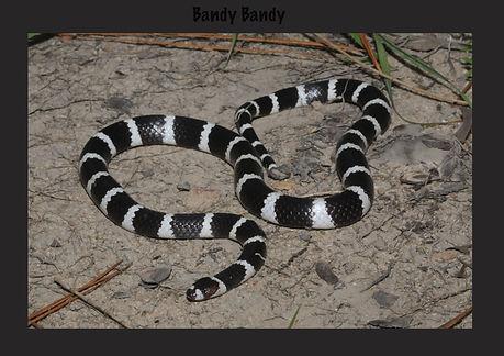 Bandy Bandy, Nature 4 You, snake, venomous, elapid