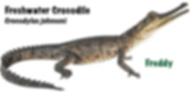 Freshwater Crocodile, Crocodylus johnsoni, crocodile, croc, reptile, pet, NatureFor You