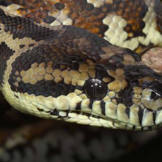 Carpet Python (Top End python) Morelia spilota spilota