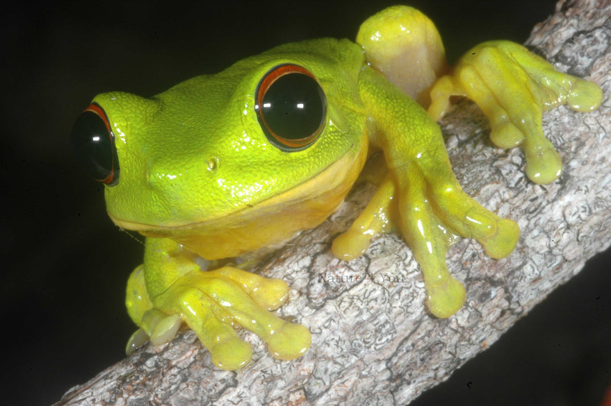 We have kept and bred many species of the stunning native frogs  Australia has to offer.