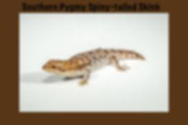 Southern Pygmy Spiny-tailed Skink, Egernia depressa, Nature 4 You, lizard, skink, reptile