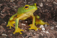 Dainty Green Tree Frog, Litoria gracilenta