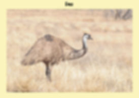 Emu, Nature 4 You, Australian bird