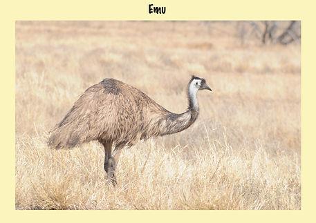 Emu, Nature 4 You, Australian bird