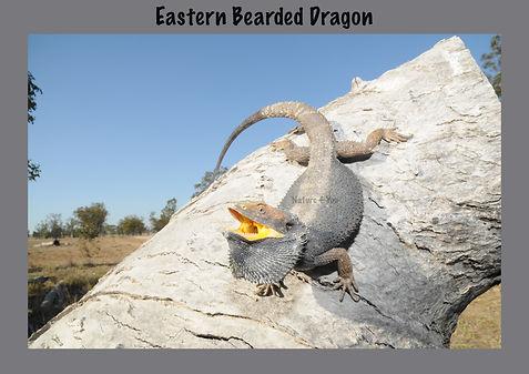 Eastern beaded Dragon, Nature 4 You, lizard