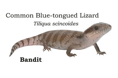 Tiliqua-scincoides,-slacks-creek2.jpg