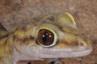 Giant Cave Gecko, Pseudothecadactylus lindneri