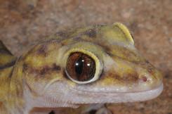 Pseudothecadactylus lindneri