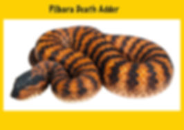 Pilbara Death Adder, Acanthophis wellsi, Nature 4 You, elapid, venomous snake, reptile