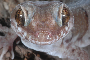 Ring-tailed Gecko, Cyrtodactylus louisiadensis