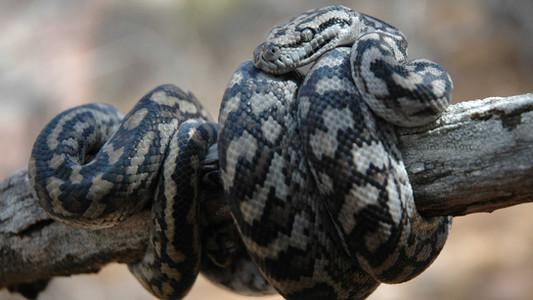 Inland Carpet Python, Morelia spilota metcalfi