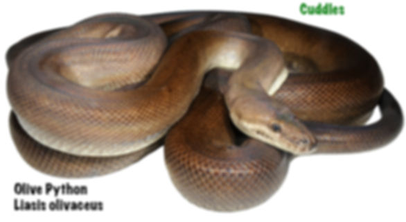 Olive Python, Liasis olivaceus, python, snake, reptile, Nature For You