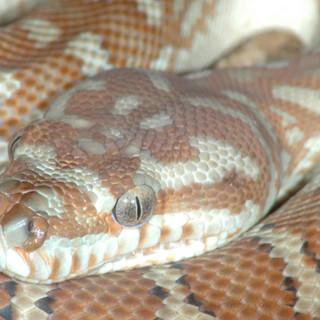 Centralian Carpet Python, Morelia bredli