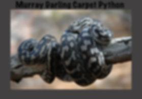 Murray Darling Carpet Python, Morelia spilota metcalfei, Nature 4 You, python, snake, reptile