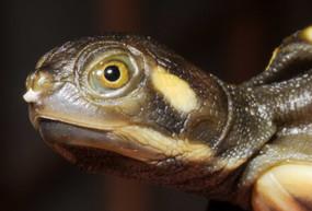 Krefft's Turtle,  Emydura macquari kreffti